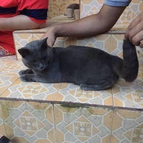 Kucing russian blue male