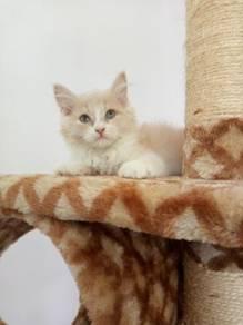Semi Flat Persian Kitten Kucing Parsi