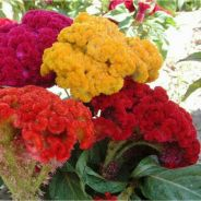 Cockscomb flower Seed mixed ( 100 seed each pack )
