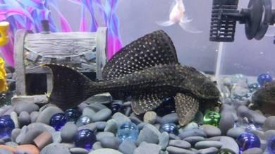 Bandaraya and fish for let