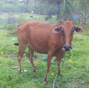 Dua ekor lembu betina untuk dijual