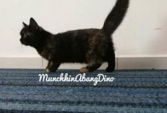 Kucing Munchkin Std Female BlackTortie