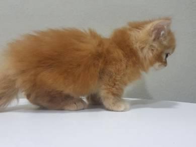 Kucing Standard Munchkin