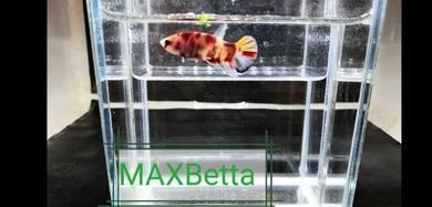 Ikan laga marble candy