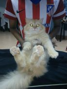 Parsi kucing