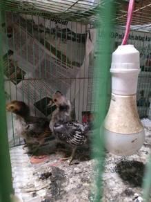 Anak ayam batik