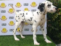 Dalmatian * Male limited 1 only *