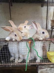 Rabbit 1 bulan lebih