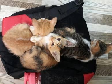 Anak kucing Calico