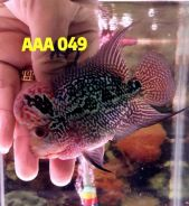 A grade flower horn fish