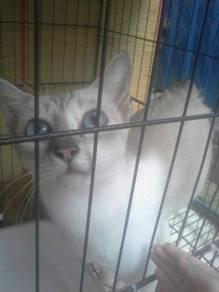 Kucing siam betina