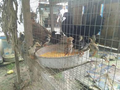 Anak Ayam Kampung