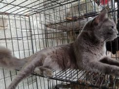 Kucing DLH   MAINECOON