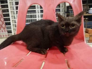 Kucing British Shorthair mix Persian Cat