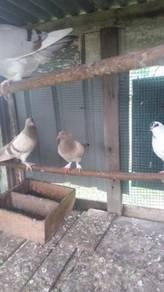 Merpati ayam kaki berbulu