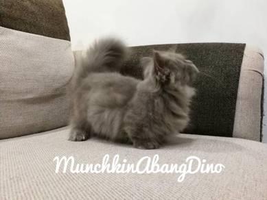 Kucing Munchkin Std Ss Female SemiFlat Blue LH