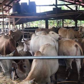 Lembu jantan korban/haji