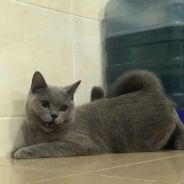 Purebreed british shorthair with certificate