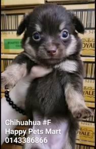 Chihuahua #Female