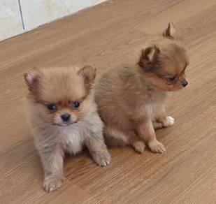 Pomeranian ( Tiny Size)