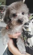 Tcup silve Poodle with MKA