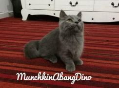 Kucing Munchkin Std Male Blue SH