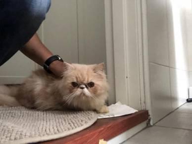 Kucing Flat Face utk di jual