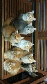 Kitten cute dan comel