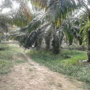 Oil palm plantation free hold
