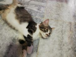 Persian mixed breed DLH (Negotiable price)