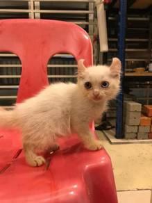 Kucing British Shorthair mix American Curl Cat