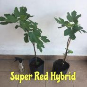 Pokok Tin / Fig Tree Super Red Hybrid