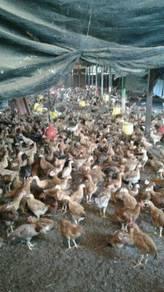 Ayam kacuk 2500ekor sama reban untuk di jual