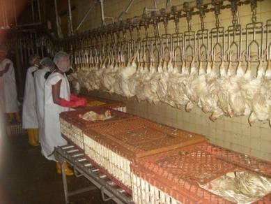 Ayam segar halal / Fresh chicken