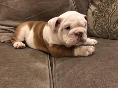 Potty trained english bulldog pupies