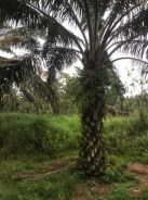 10 Acres LAYANG-LAYANG PALM OIL LAND for SALE
