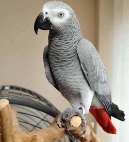 Health Quaramtee African Gray Parrots