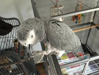 Sily African Graw Parrots