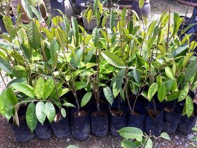 Benih Durian Tembaga >Cita Tani Nursery