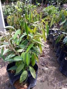 Benih Durian ioi >Cita Tani Nursery