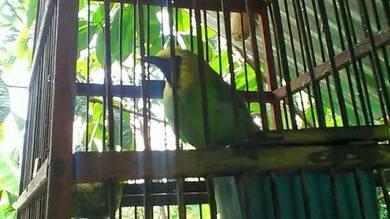 Burung daun