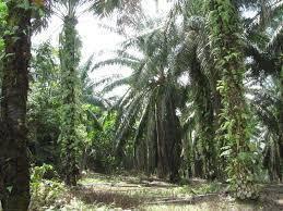 Palm Oil Land Sitiawan, Manjung