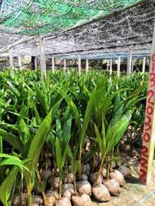 Benih kelapa wangi rendah / sgg TULEN