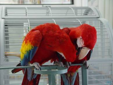 Singing Obedient Hycinth Macaw Parrots