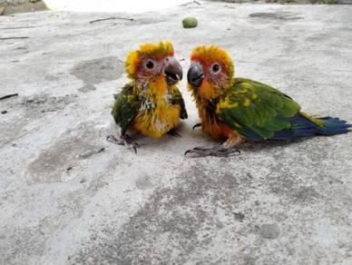 Burung sun conure parrot