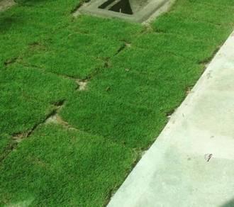 Membekal japanese grass dan pearl grass