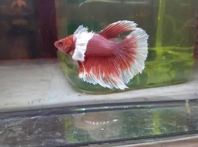 Ikan Laga HM Red Dumbo Male