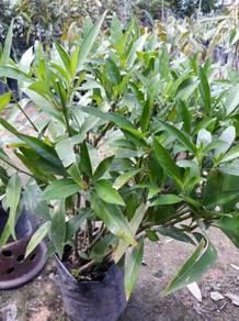 Benih pokok Gandar Rusa >Cita Tani Nursery