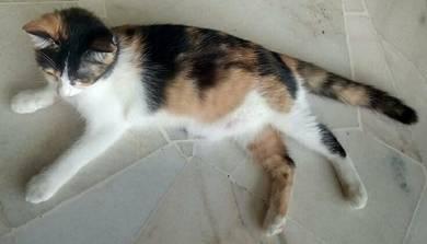 Mia - fully domestic medium housecat