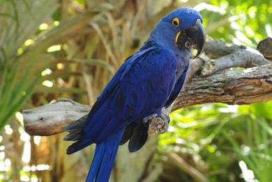 Adorable blue Hyacinth Macaws available